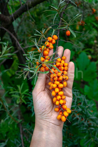 A man's hand holds a green branch with sea-buckthorn against the backdrop of a green garden. Useful  Stock photo © artjazz
