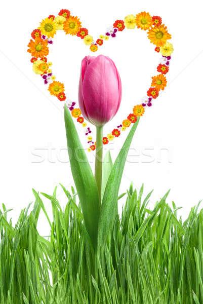 Lila tulipán zöld fű szív virágok izolált Stock fotó © artjazz