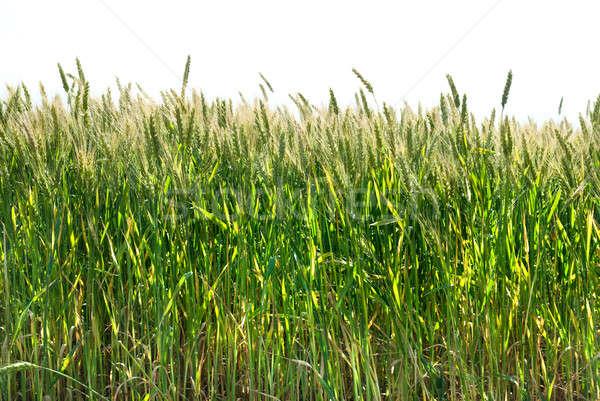 Yeşil buğday yalıtılmış beyaz çim ekmek Stok fotoğraf © artjazz