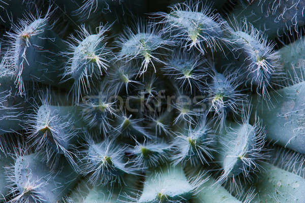 Close-up of an unusual flower Echeveria Bristly Stock photo © artjazz
