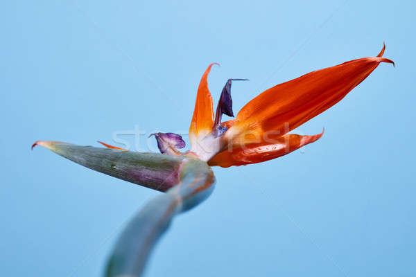 Madár édenkert virág kék virágzó egzotikus Stock fotó © artjazz