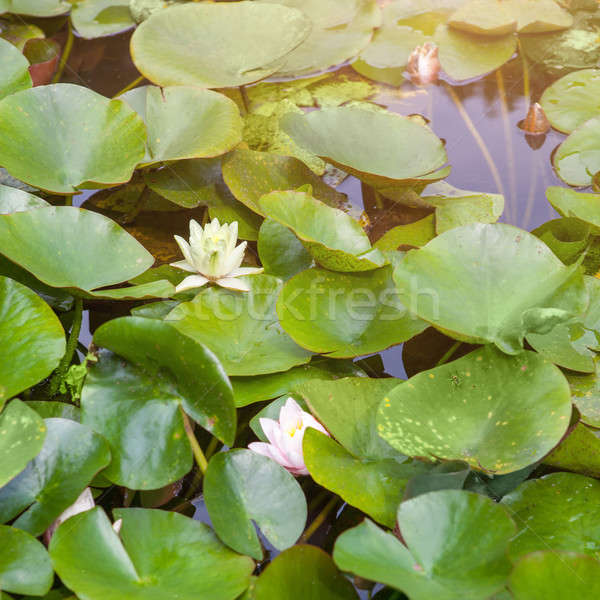 Beautiful white and pink waterlily or lotus flower Stock photo © artjazz