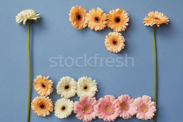 Flower composition of white, pink and orange gerberas on a blue paper background Stock photo © artjazz