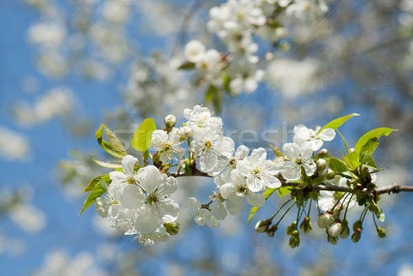 spring blossom of apple tree against blue sky Stock photo © artjazz