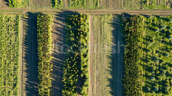 Aerial view planting young trees. Ecological concept. Photo from the drone Stock photo © artjazz