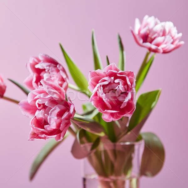 Spring pink tulips in a vase on a pink background Stock photo © artjazz