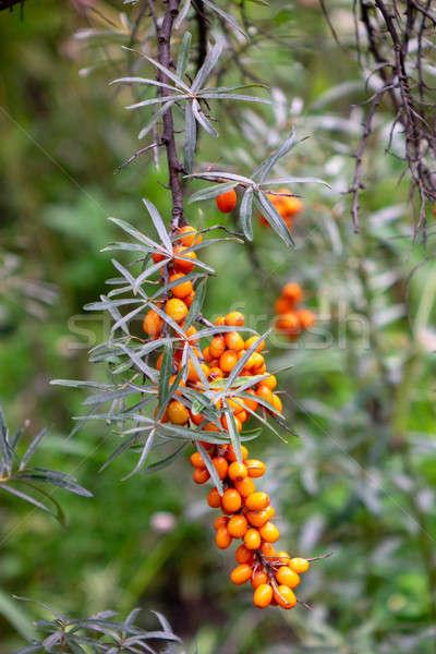 Branch with berries of sea-buckthorn in the garden Stock photo © artjazz
