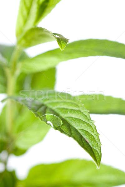 macro photo of green mint isolated on white Stock photo © artjazz