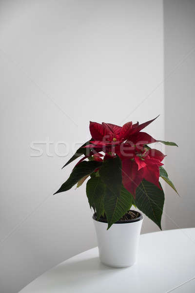 Poinsettia the Star of Bethlehem, symbol of Christmas on light background Stock photo © artjazz
