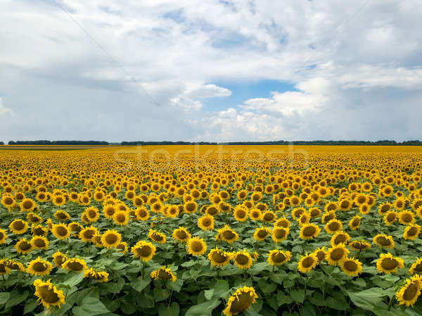 Panoramic photography from flying drone to a beautiful field of sunflowers and cloudy sky by summert Stock photo © artjazz