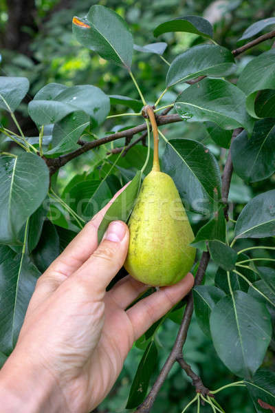 Pears growing on a branch with green leaves in the garden outdoors in summer. A man's hand picking a Stock photo © artjazz