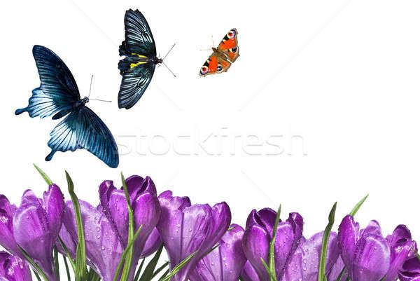 Photo stock: Crocus · bouquet · papillons · isolé · blanche · jardin