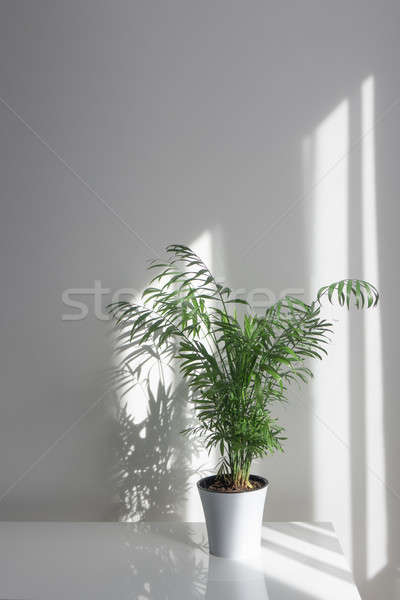 Green plant Areca in a flowerpot on a table against a white wall background Stock photo © artjazz