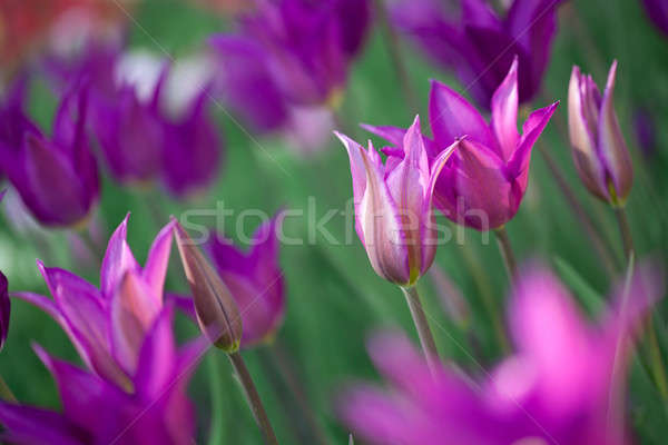 Belle rose tulipes jardin herbe feuille Photo stock © artjazz