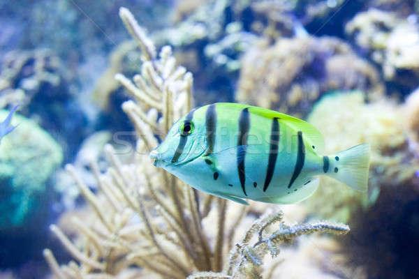 Sergeant major fish Stock photo © artjazz