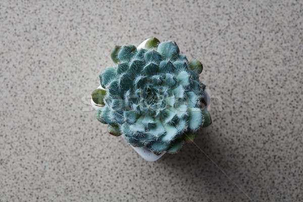 Top view of the house plant Echeveria Bristly on a gray stone background Stock photo © artjazz