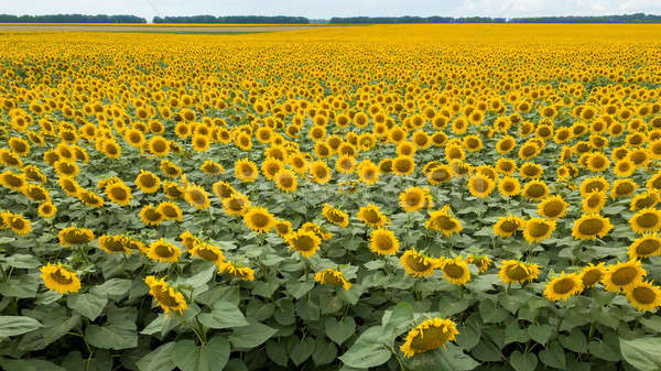 Summer natural landscape with a flowering field of yellow sunflowers against the background of a clo Stock photo © artjazz