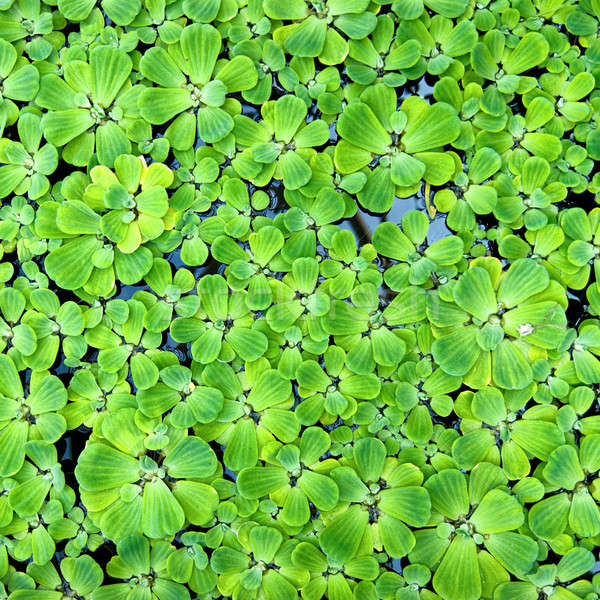 background from green duckweed in water  Stock photo © artjazz