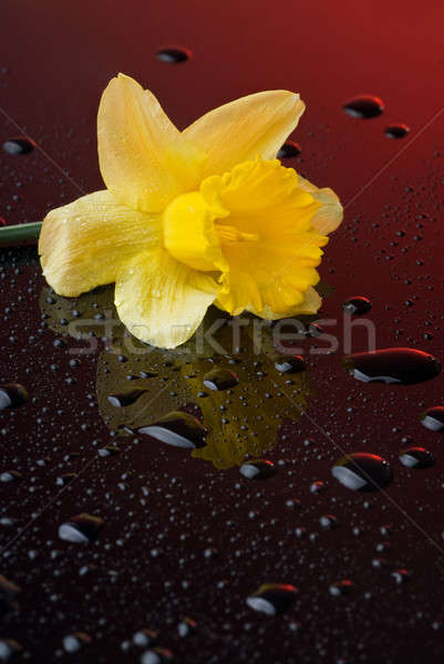 yellow narcissus on red background with water drops Stock photo © artjazz