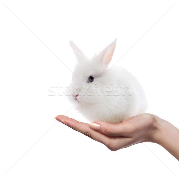 little rabbit in the hands Stock photo © artjazz