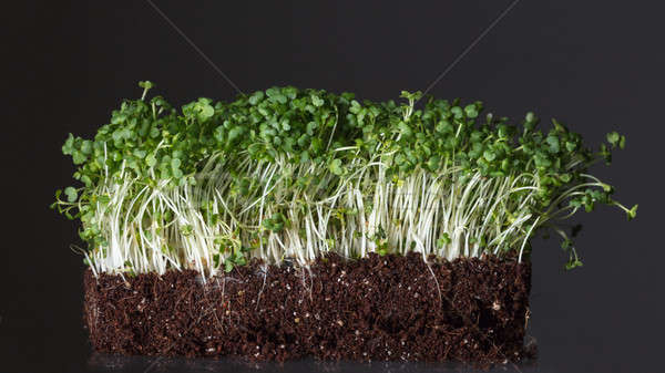 Young green grains growing in organic soil isolated on black Stock photo © artjazz