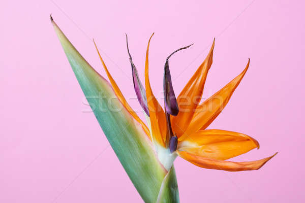 Bird of paradise flower Strelitzia isolated on pink background Stock photo © artjazz