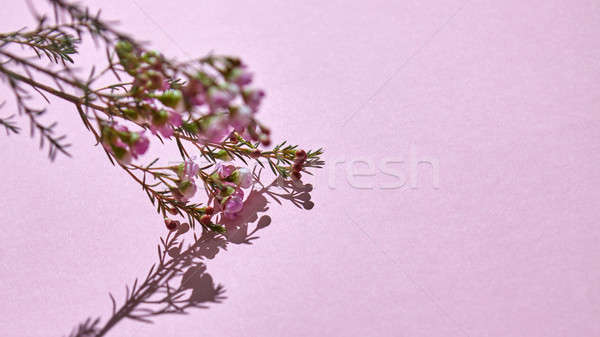 Branch with pink spring flowers on a pink background Stock photo © artjazz
