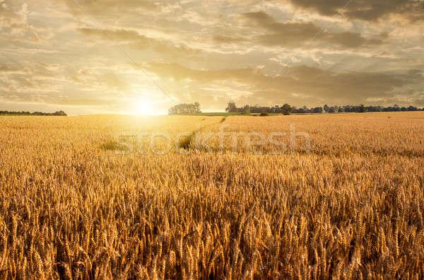 Golden wheat field Stock photo © artjazz