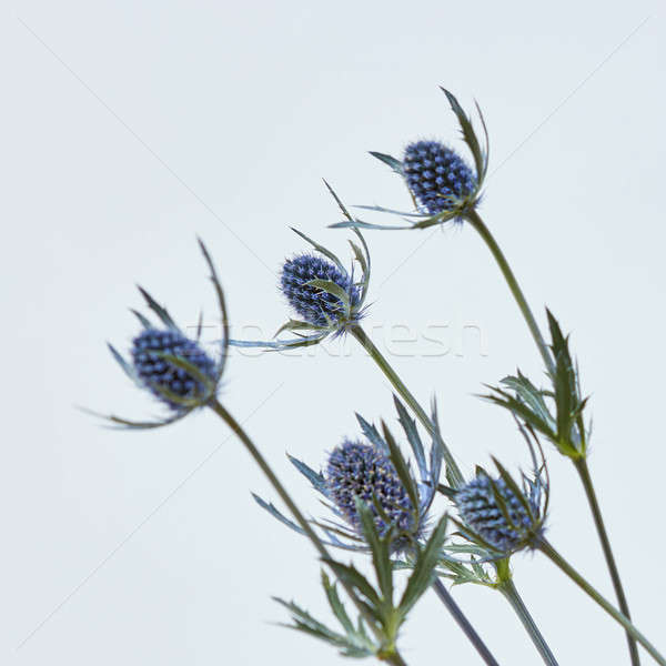 small blue flowers on a gray background Stock photo © artjazz