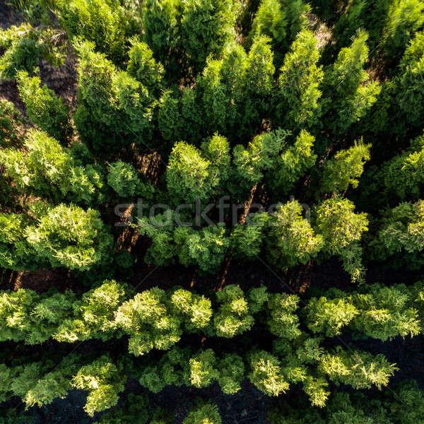 Yaprak döken ağaçlar bahar fotoğraf yeşillik Stok fotoğraf © artjazz