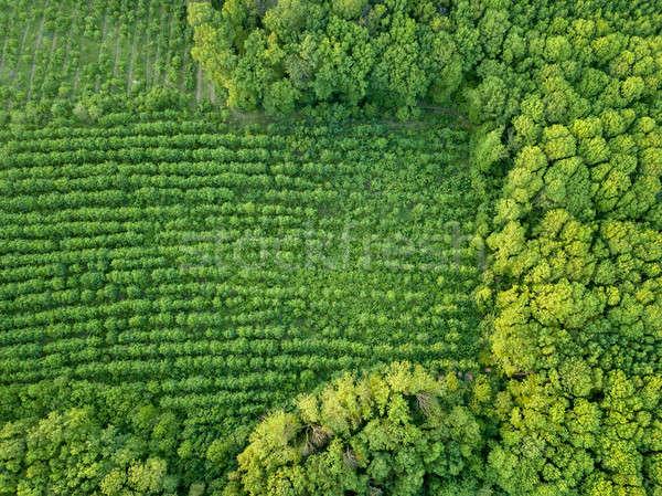 Lasu młodych drzew ochrona Zdjęcia stock © artjazz