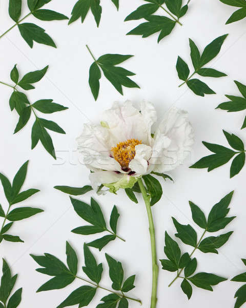 gentle floral pattern of white peony on wite background, top view Stock photo © artjazz