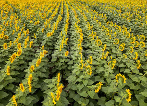 Agricultured field of blooming sunflowers at summer sunset. Panoramic view from drone. Stock photo © artjazz