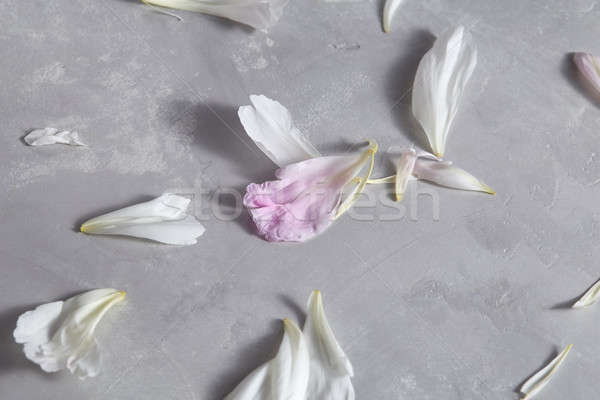 Fresh petals of a peony flower on a gray concrete background with copy space. Card. Flat lay Stock photo © artjazz