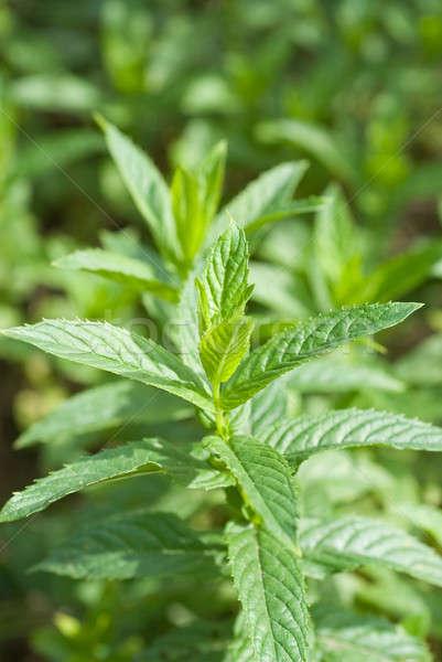 macro photo of green mint  Stock photo © artjazz
