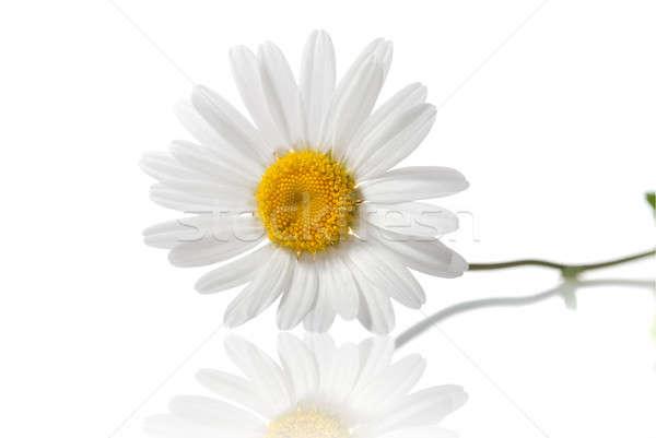 белый ромашка изолированный цветок природы свет Сток-фото © artjazz