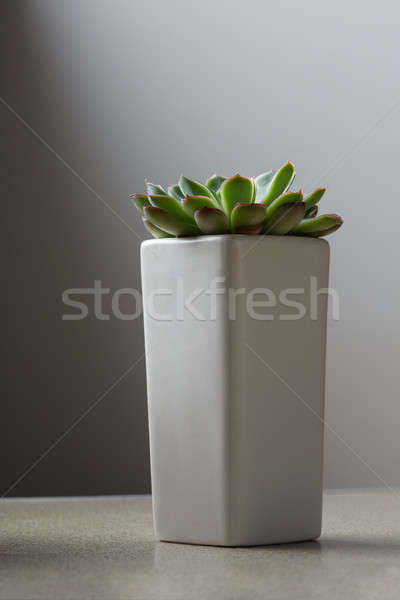 Vert succulent gris pot pierre belle Photo stock © artjazz