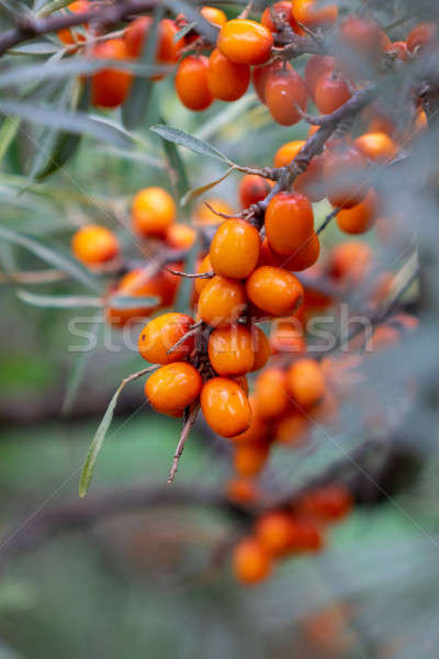A bunch of juicy eco-friendly sea-buckthorn berries on a green branch in the garden. Macro photo Stock photo © artjazz