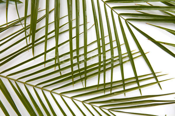 Palmbladeren witte geïsoleerd natuur licht Stockfoto © artjazz