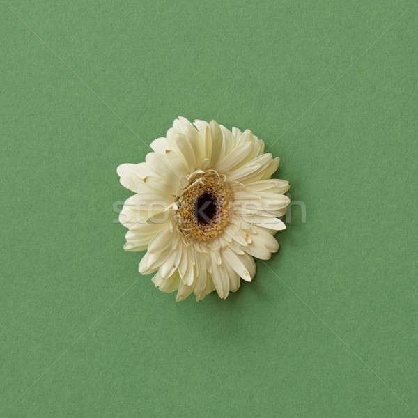 White gerbera flower isolated on green background Stock photo © artjazz