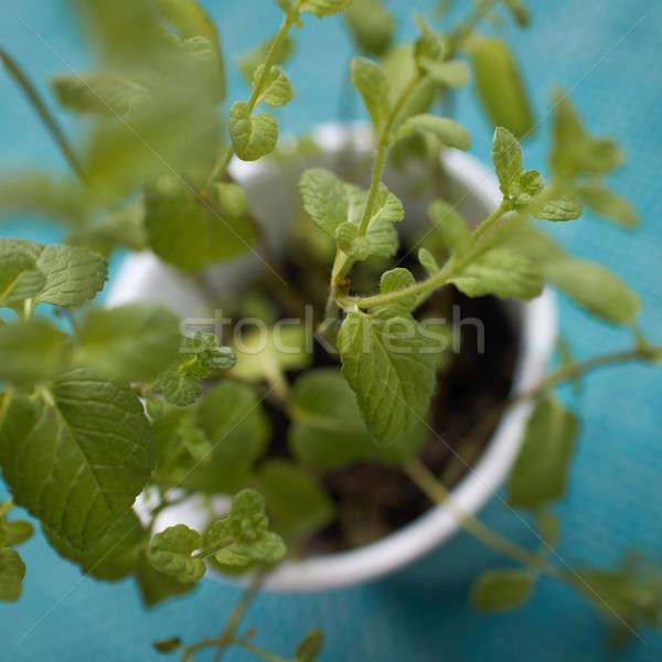 Pepper mints in Vegetable Garden on a blue background Stock photo © artjazz