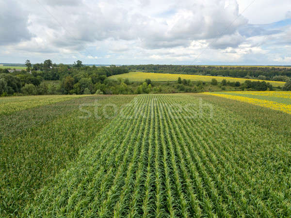 An endless field with corn on the background of a rural landscape and a blue cloudy sky on a summer  Stock photo © artjazz