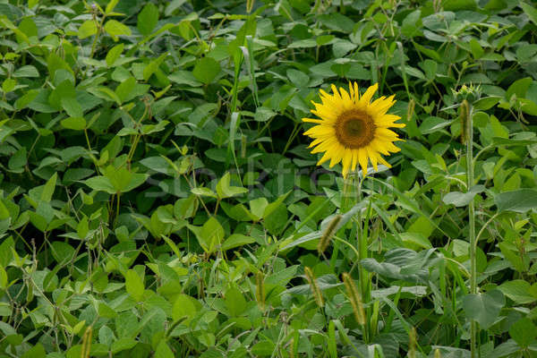 Farmer's garden with bean plants and a blooming sunflower on a summer day Stock photo © artjazz