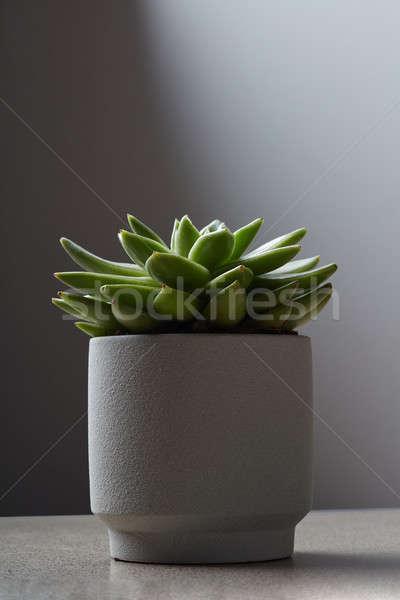 Witte bloempot plant marmer tabel sappig Stockfoto © artjazz