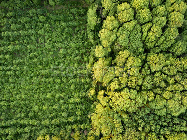 Aerial view from the drone, a bird's eye view to the forest with green plantings of various ages and Stock photo © artjazz