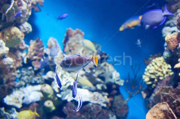 Sargassum Triggerfish swimming Stock photo © artjazz