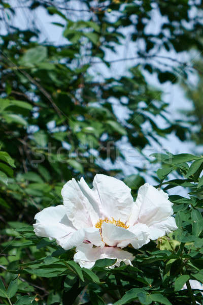 Kokulu beyaz çiçeklenme yemyeşil bitki örtüsü çiçek form Stok fotoğraf © artjazz
