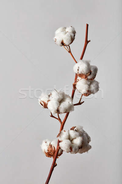 white cotton flowers on gray background Stock photo © artjazz