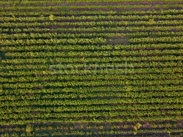 Rows of soil with young sprouted seedlings in spring, top view Stock photo © artjazz
