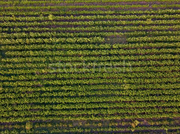 Sorok föld fiatal palánták tavasz felső Stock fotó © artjazz